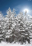 Forest with pine trees covered in snow with blue sky