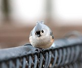 A perky tufted titmouse checking out the camera.