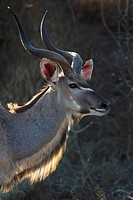 An antelope looking away, side view, head and shoulders