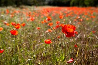 A field of poppy flowers