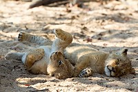 A playful lion cub lying next to another cub sleeping