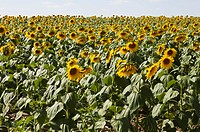A field of cultivated sunflowers