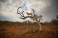 A female lion standing on bare branch (thumbnail)