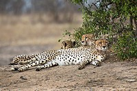 Three cheetahs lying side by side