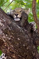 A leopard rubbing its face against tree bark