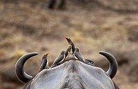 Five Yellow-billed Oxpeckers perching on head of Cape Buffalo (thumbnail)