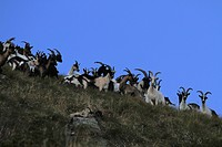 Mountain goats on Monte Rosa, Piedmont, Italy
