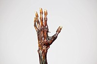 An anatomical model of a mummified human hand