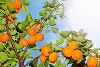 The sun shining on apricots growing on an apricot tree (thumbnail)