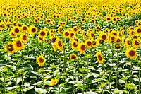 A field of sunflowers (thumbnail)