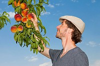 A man picking an peach off an apricot tree