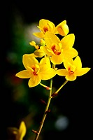Beautiful yellow orchid on green leaf background.