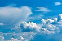 three seagulls in the sky with clouds