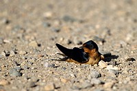 Fledgling Barn Swallow on a gravel road