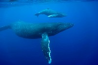 Underwater view of Humpback Whale cow and calf swimming in Pacific Ocean, Big Island, Kona, Hawaii