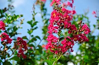 Closeup of the red flowers of Lagerstroemia indica Crape myrtle or Crepe myrtle in September in Japan