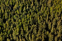 Aerial view of a thick spruce and hemlock forest in the Tongass National Forest near Juneau, Southeast Alaska, Summer