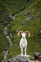 A full_curl Dall ram stands on a rock outcrop facing forward, Denali National Park and Preserve, Interior Alaska, Summer