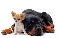 portrait of a purebred rottweiler and puppy chihuahua in front of white background