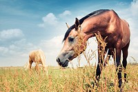 Close_up photo of the brown horse feeding in the steppe. Another horse at the background. Kazakhstan, Middle Asia. Natural colors and light