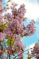 Paulownia is a genus plants in the monogeneric family Paulowniaceae