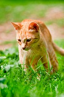 Red Greek stray cat outdoor in nature