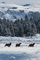 Yellowstone National Park, WY.Elk walk through the valley in the winter.
