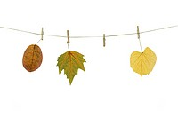 autumn leaves on a clothes line. White background