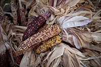 Lincoln, Nebraska..A bundle of Indian corn at harvest time.