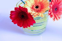 Three gerbera daisies in vase against white_blue background