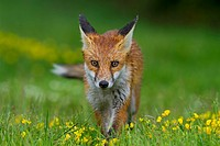 Red fox (Vulpes vulpes), in grass and trefoil (Lotus corniculatus), after a rain shower, south east England, United Kingdom, Europe