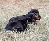 Small black Tibetan goats sleeping in the hay