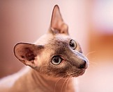 cute hairless oriental cat close up, peterbald