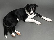 Border collie puppy lying on gray background close up