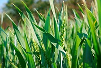 Fresh green wheat plant on a field