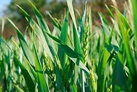 Fresh green wheat plant on a field