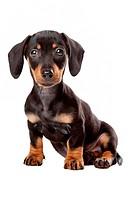 Dachshund, Teckel puppy