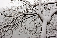 Tree with snow.Snow covered tree on the shore of Storrs lake