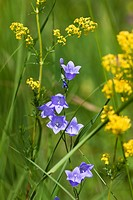Harebells (Campanula rotundifolia) and Lady's Bedstraw (Galium verum), Upper Bavaria, Bavaria, Germany, Europe