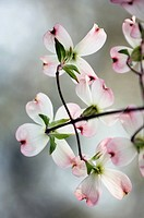 White with Pink Tips Dogwood Flowers.A branch of blossoming Dogwood Tree. Cornus florida. Delicate white and pink flowers