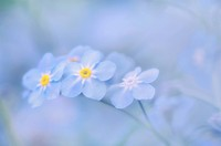 Forget_me_nots flower.Myosotis sylvatica, soft focus