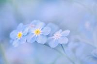 Forget_me_nots flower.Myosotis sylvatica, soft focus
