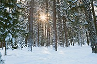 Snow Covered Forest with Sun Beams Through Trees.Sun shining through snow covered pine forest trees.