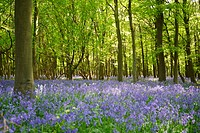 Bluebells in beech woodland in spring.Essex, England. Latin name: Hyacinthoides non_scripta