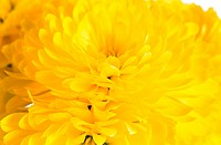 Beautiful yellow chrysanthemum flower autumn vivid background