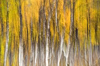 Birch grove in autumn, abstract image, Langfjordbotn, Finnmark, Norway, Europe