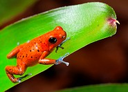 red poison dart frog blue legs beautiful rainforest species of costa rica and panama kept as a pet in a terrarium ,oophaga pumilio exotic amphibian