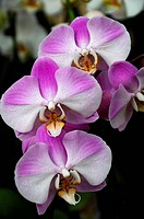 Malay flower (Phalaenopsis hybrids), orchid