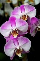 Malay flower (Phalaenopsis hybrids), orchid