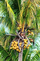a coconut palm tree in florida city florida usa